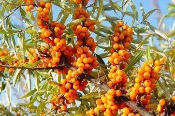 适合北方沙漠地区种植的水果树有哪些
