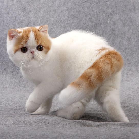 直到八十年代,异国短毛猫的品种正式确立,并获得猫协会的认可.