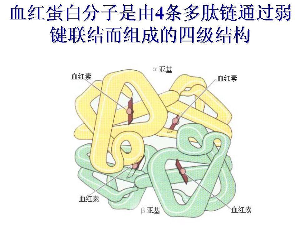 人和许多动物血红蛋白α链(含141个氨基酸残基)和β