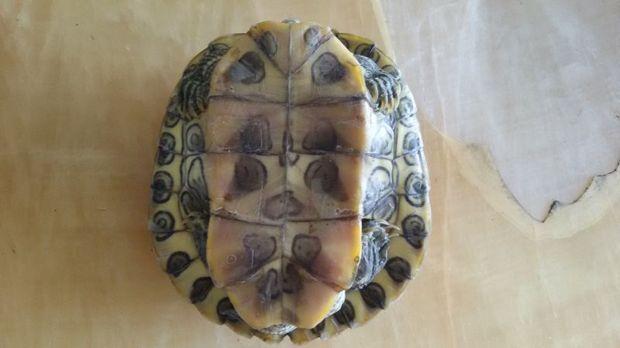 你好,腹部有铜钱花纹的乌龟是什么品种?