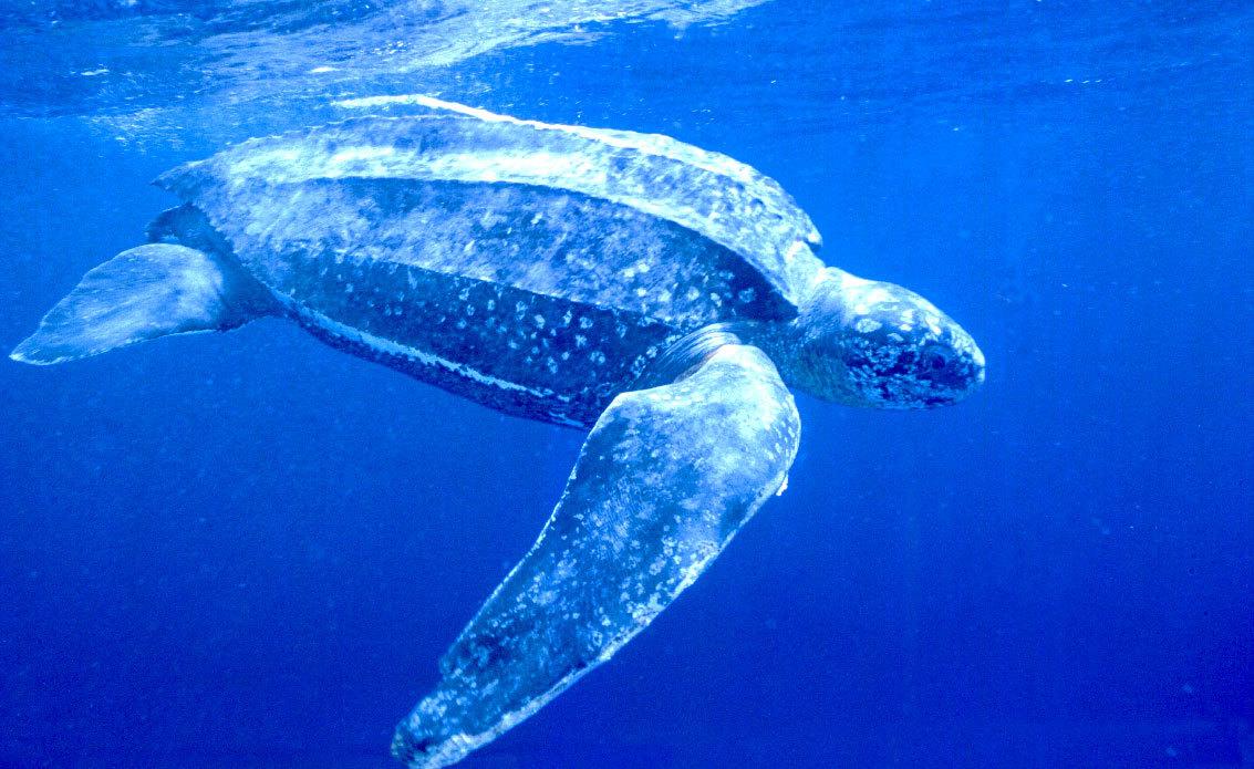 棱皮龟是现代最大的海洋爬行动物,体长3米,体重近1吨,在人类的努力下