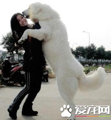 泰迪熊犬价格可卡犬_泰迪熊犬价格_大白熊犬