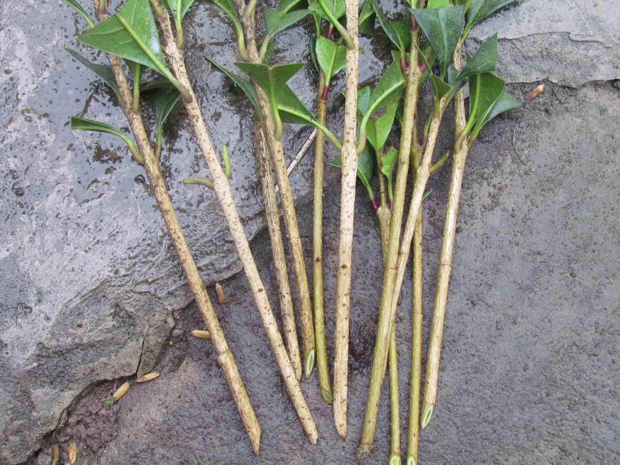 人们常用扦插\嫁接等方法繁殖果树.同有性生殖相比,其