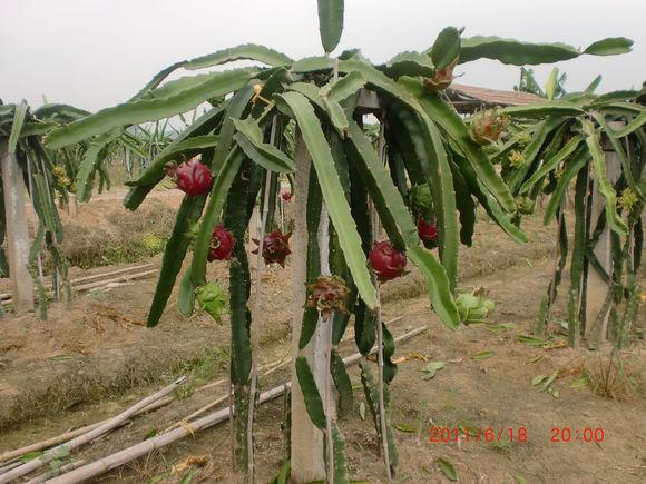 火龙果植物成长过程图片