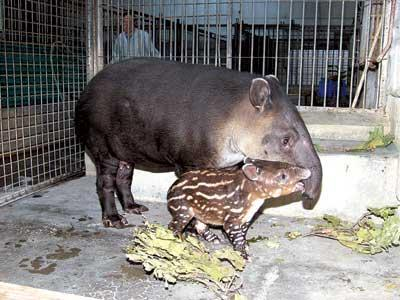 在我国动物园中极少,在北京要看中美貘还非得去北京动物园不可.