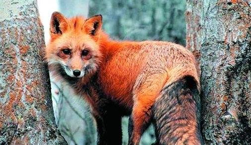 18岁少年救下一只红狐:报恩狐狸救恩人 - 一统江山 - 一统江山的博客