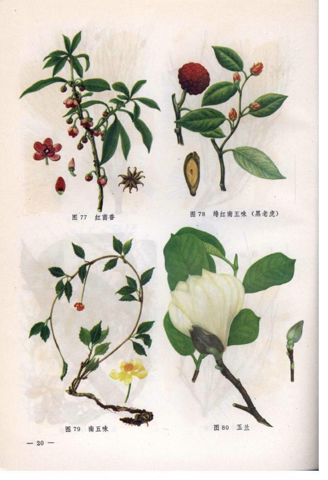双子叶植物