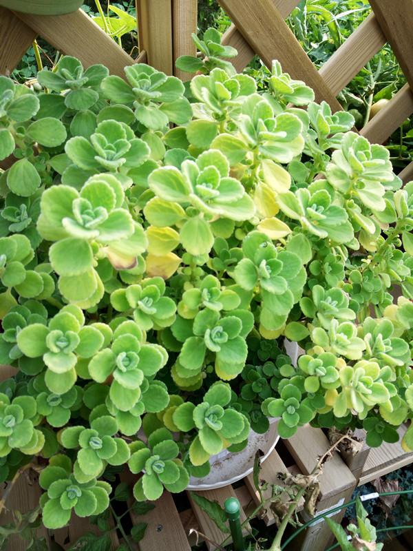 碰碰香为唇形科香茶菜属植物图片